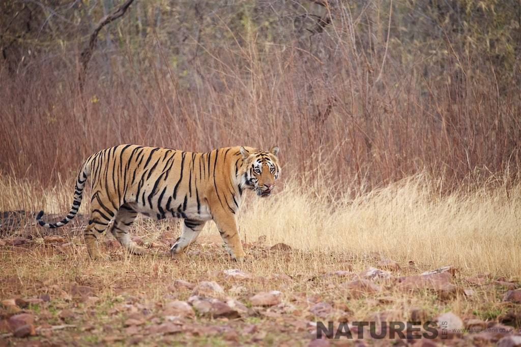 A Bengal Tiger photographed on a NaturesLens Bandhavgarh Photography Holidayin India