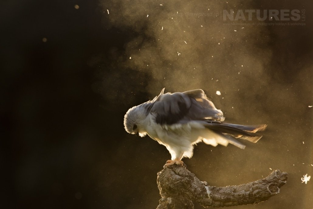 A Black Winged Kite shakes the dust from it's feathers at the end of a long day - photographed on the NaturesLens Birds of Calera Photography Holiday in Spain