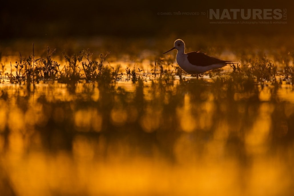 A Black Winged Stilt amongst the golden hues thrown by the sun - photographed on the NaturesLens Birds of Calera Photography Holiday in Spain