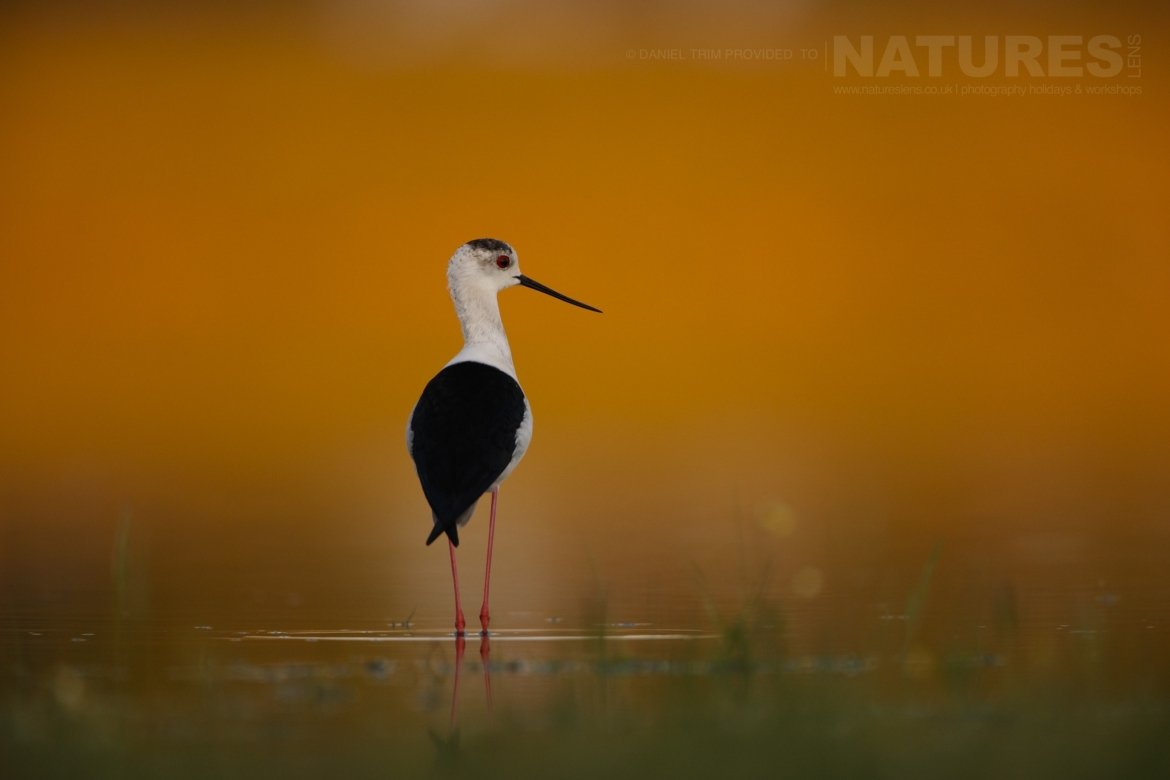 A Black Winged Stilt photographed from a lake hide photographed on the NaturesLens Birds of Calera Photography Holiday in Spain