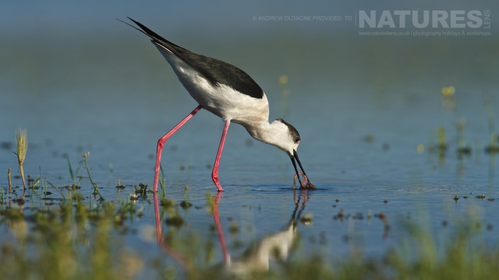 A Black Winged Stilt photographed from a lake-side hide - photographed on the NaturesLens Birds of Calera Photography Holiday