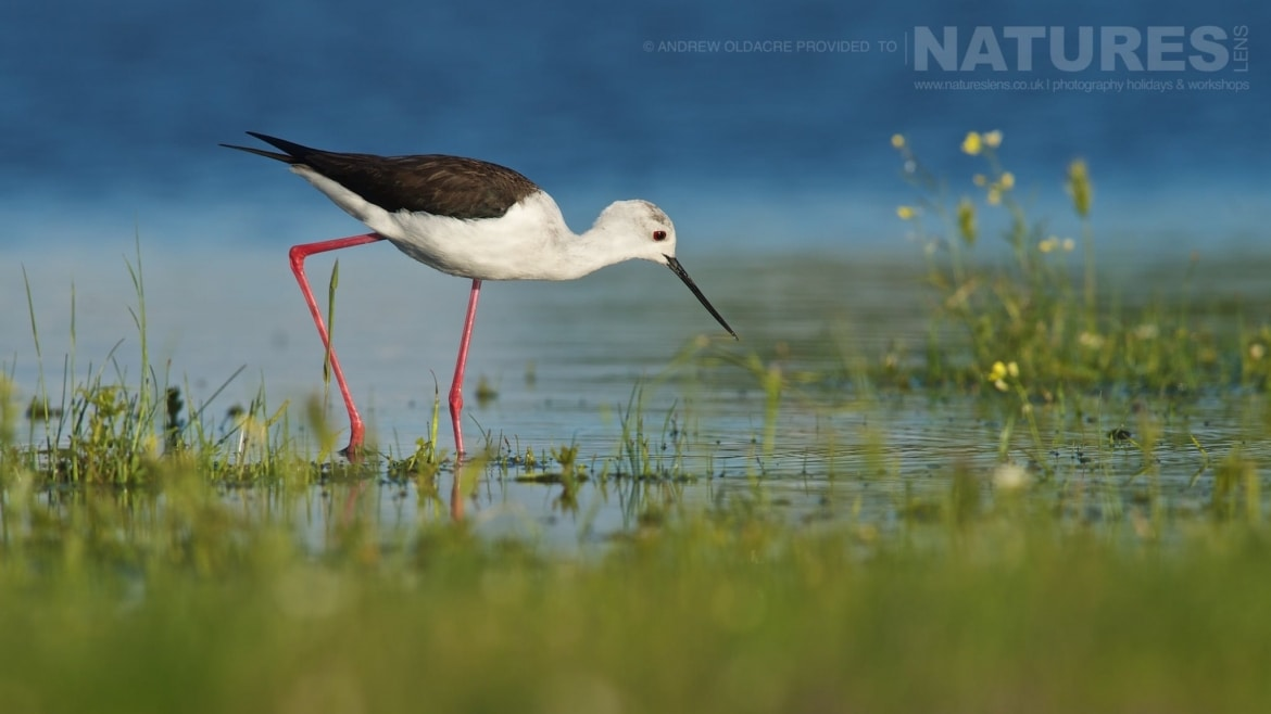 A Black Winged Stilt walks along the shoreline photographed from a lake side hide photographed on the NaturesLens Birds of Calera Photography Holiday