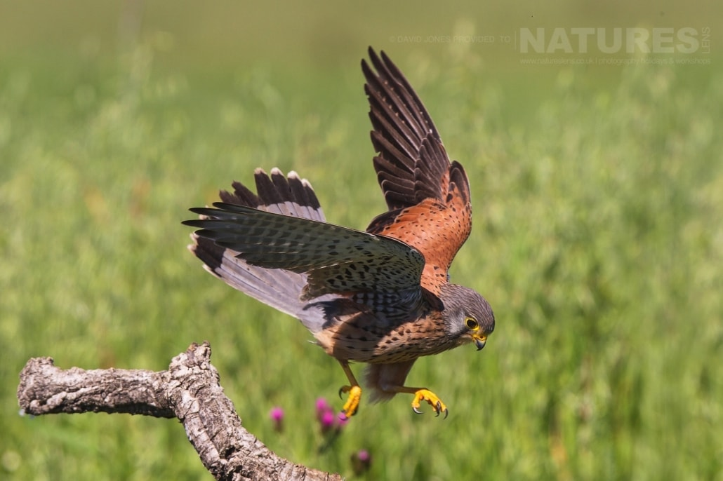 A Common Kestrel prepares for take off - photographed on the NaturesLens Birds of Calera Photography Holiday