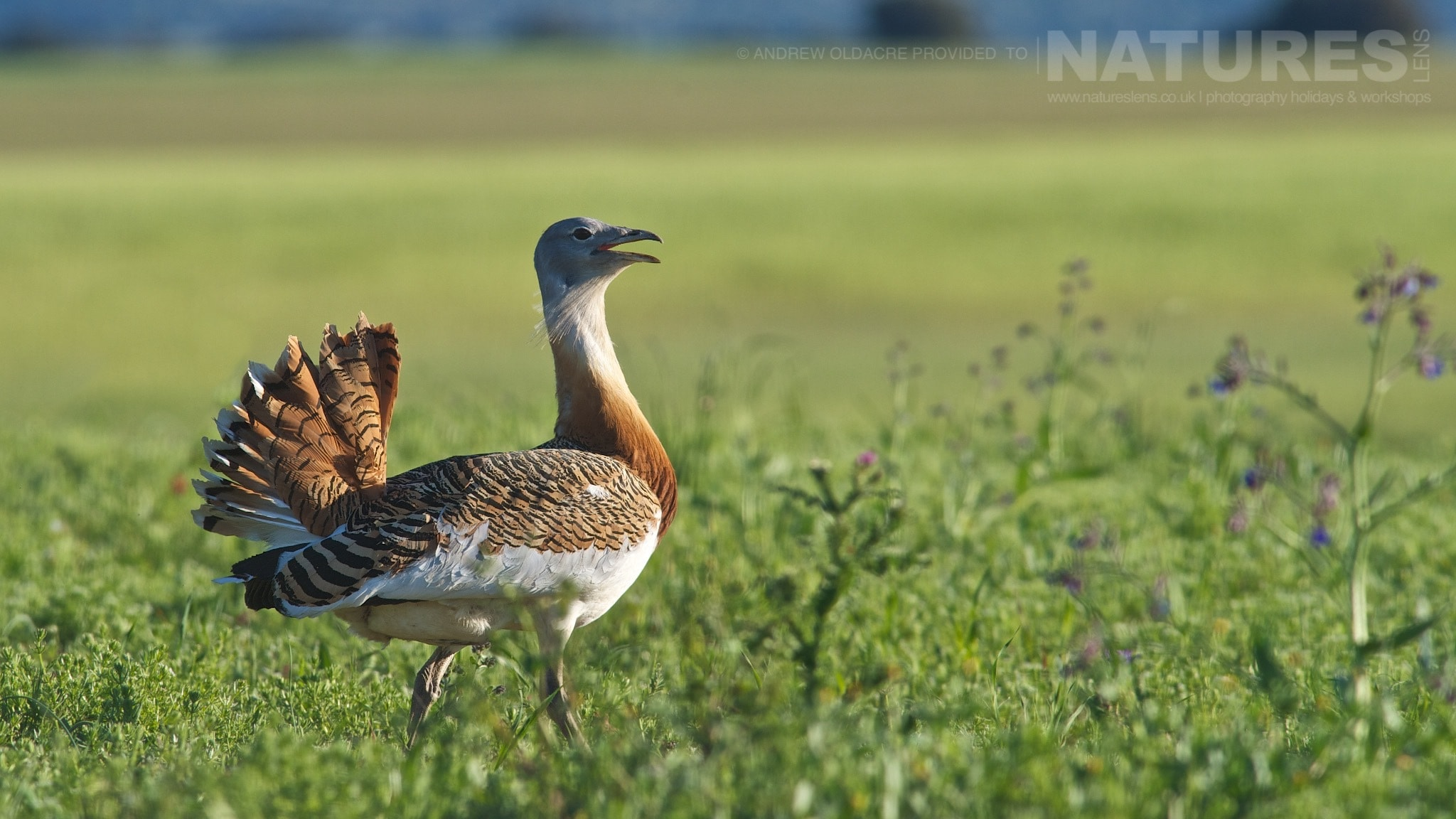 A Greater Bustard on the Spanish plains - photographed on the NaturesLens Birds of Calera Photography Holiday
