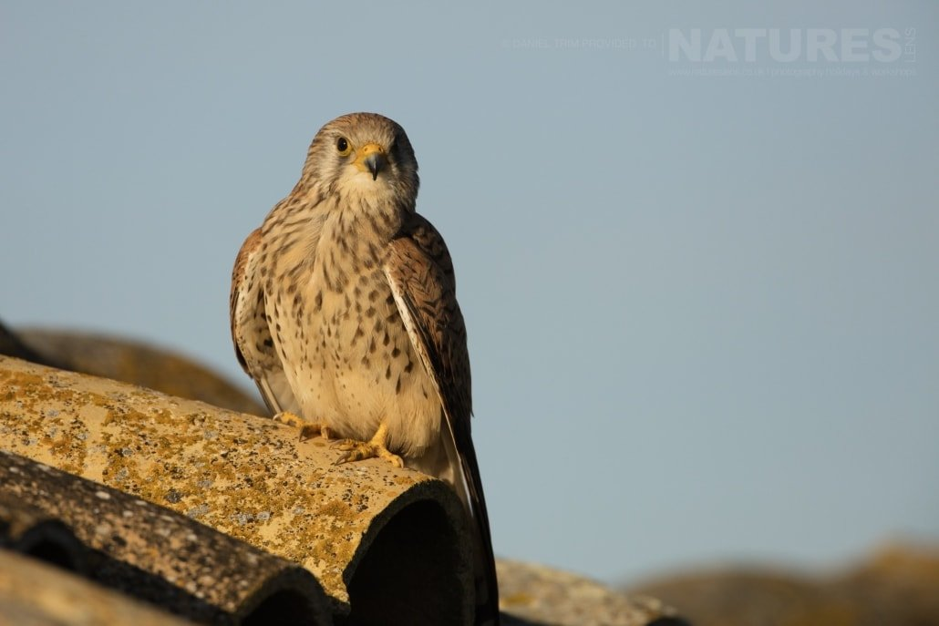 A Lesser Kestrel photographed from a roof-top hide - photographed on the NaturesLens Birds of Calera Photography Holiday in Spain