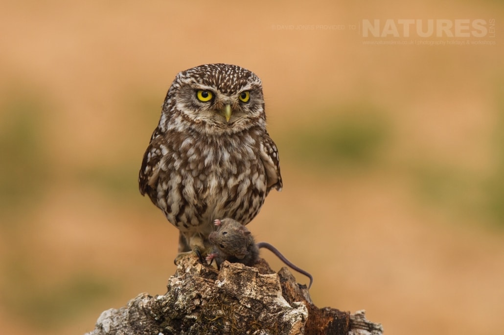 A Little Owl with prey - photographed on the NaturesLens Birds of Calera Photography Holiday