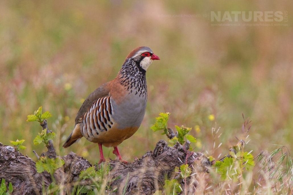 A Red-legged Partridge captured on the Spanish Plains in April - photographed on the NaturesLens Birds of Calera Photography Holiday