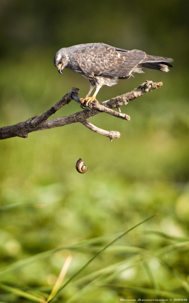 A Snail Kite drops the now empty shell from, it's recently consumed prey - photographed on the NaturesLens Ospreys of Blue Cypress Lake Photography Holiday