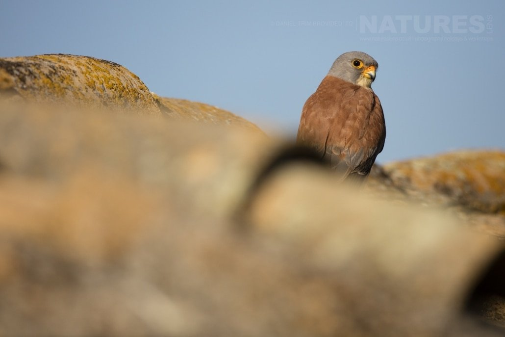 A Spanish Lesser Kestrel perched on a roof - photographed on the NaturesLens Birds of Calera Photography Holiday