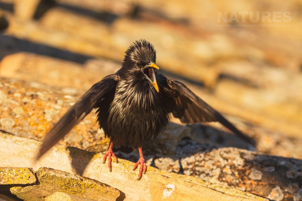 A Spotless Starling male displaying & calling for the females - photographed on the NaturesLens Birds of Calera Photography Holiday