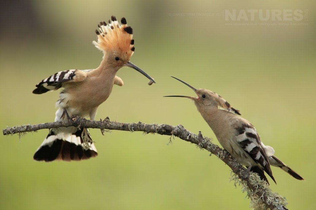 A hoopoe parent delicately feeds it's young - photographed on the NaturesLens Birds of Calera Photography Holiday in Spain