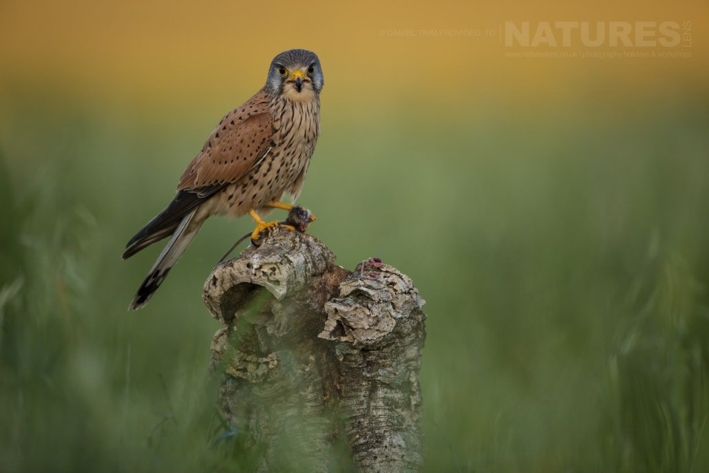 A kestrel with prey amongst the wildflowers on the Spanish plains - photographed on the NaturesLens Birds of Calera Photography Holiday