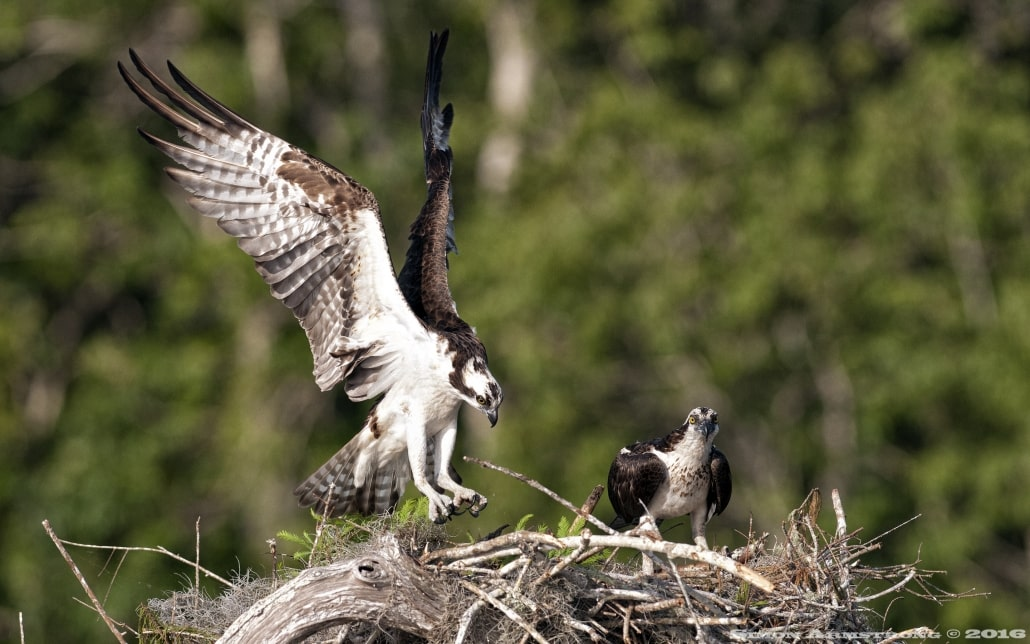 A male osprey returns to the nest - photographed on the NaturesLens Ospreys of Blue Cypress Lake Photography Holiday
