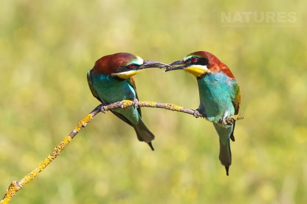 A pair of Bee-eaters gently pass food between them - photographed on the NaturesLens Birds of Calera Photography Holiday