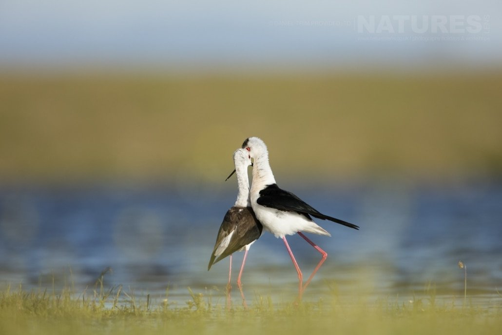 A pair of Black Winged Stilts photographed from a lake hide - photographed on the NaturesLens Birds of Calera Photography Holiday in Spain