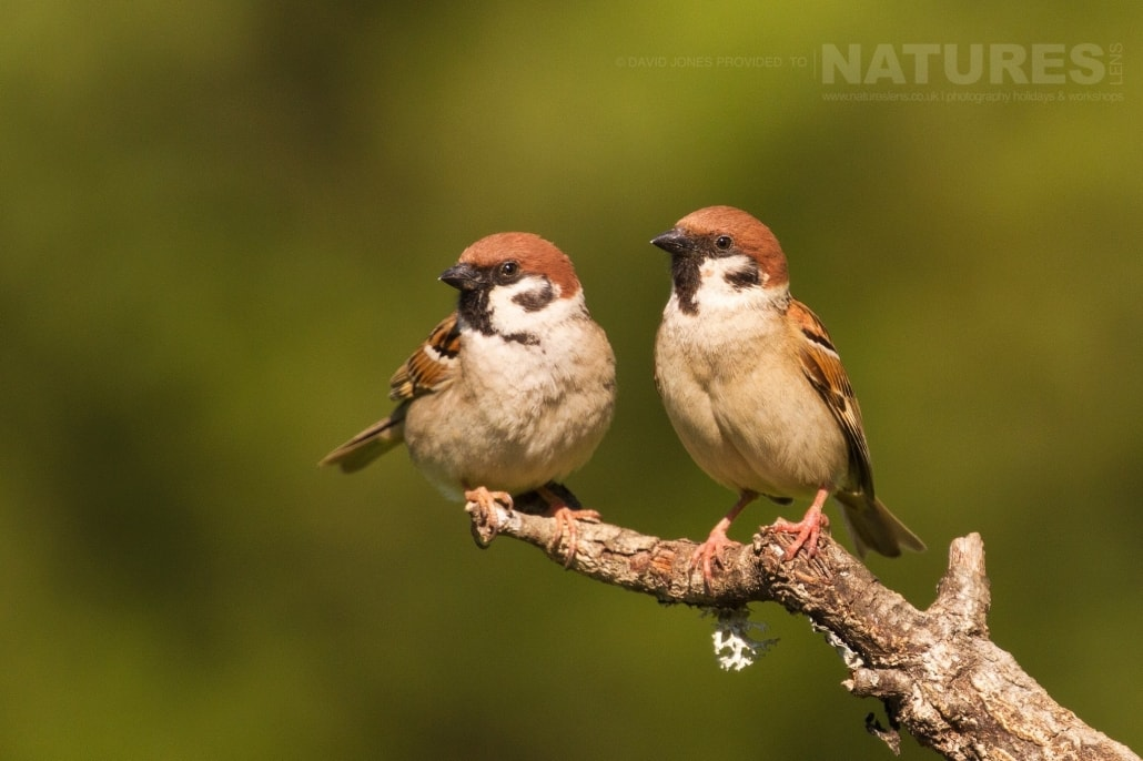A pair of Tree Sparrows captured on the Spanish Plains - photographed on the NaturesLens Birds of Calera Photography Holiday