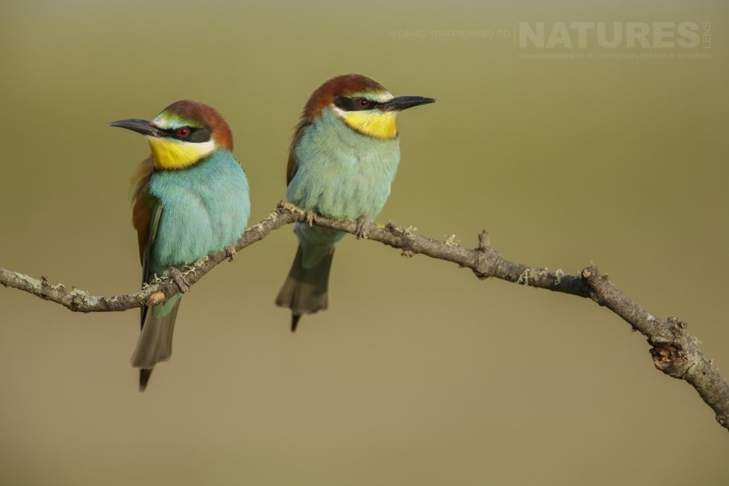 A pair of perched bee-eaters on the Spanish plains - photographed on the NaturesLens Birds of Calera Photography Holiday