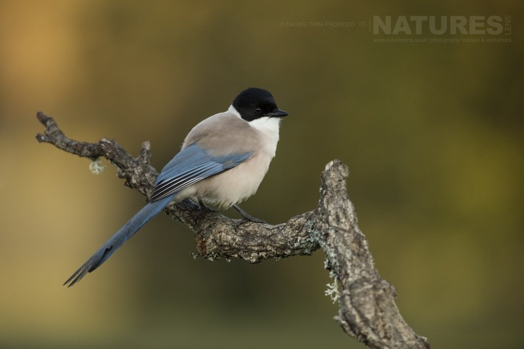 A perched Azure-Winged Magpie - photographed on the NaturesLens Birds of Calera Photography Holiday in Spain