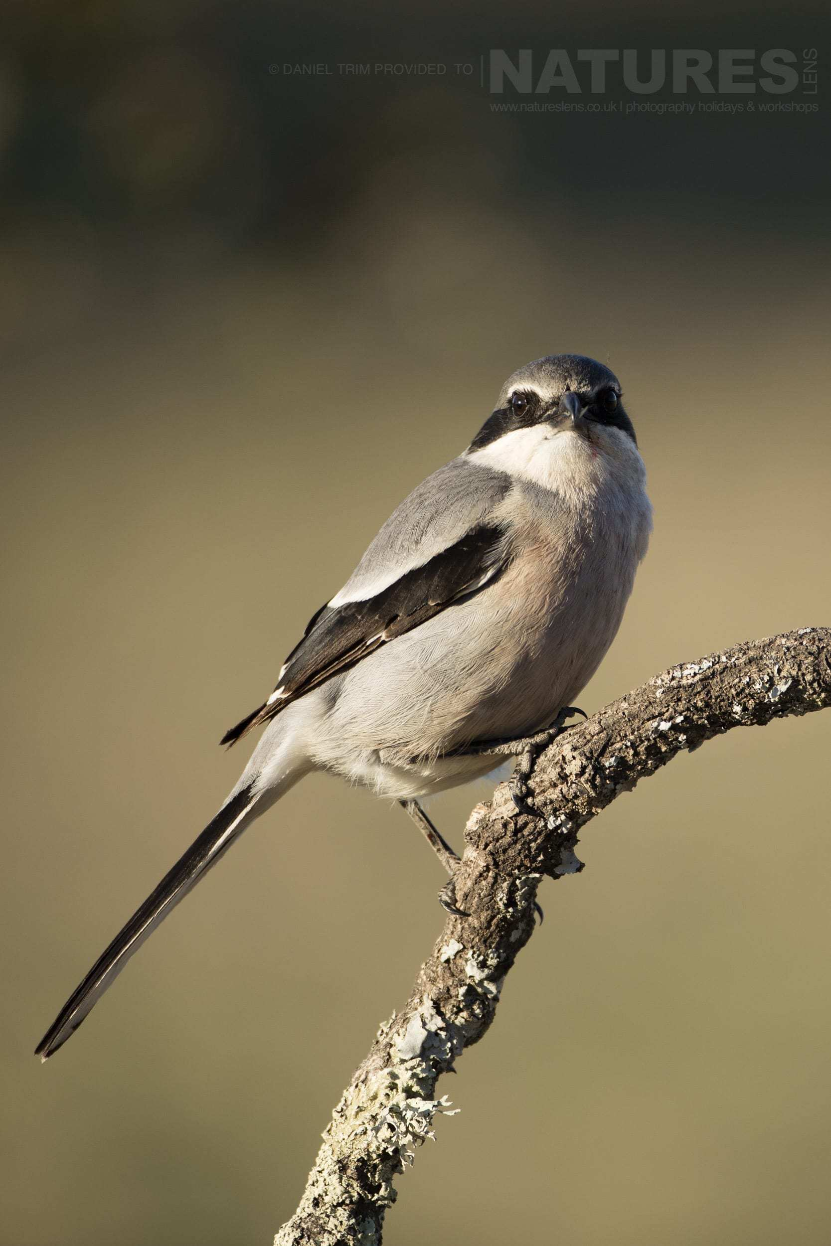 A perched Southern Grey Shrike - photographed on the NaturesLens Birds of Calera Photography Holiday in Spain