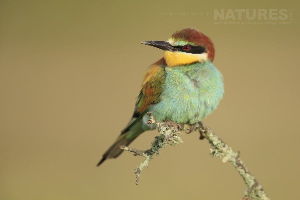 A perched Spanish bee-eater - photographed on the NaturesLens Birds of Calera Photography Holiday in Spain