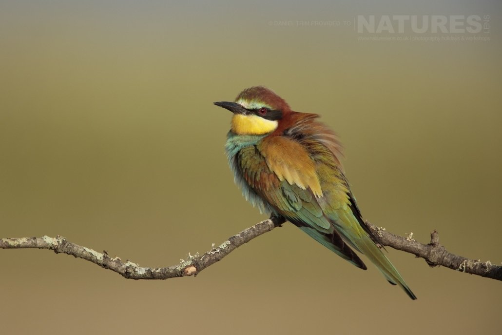 A solitary bee-eater waiting for insects - photographed on the NaturesLens Birds of Calera Photography Holiday in Spain