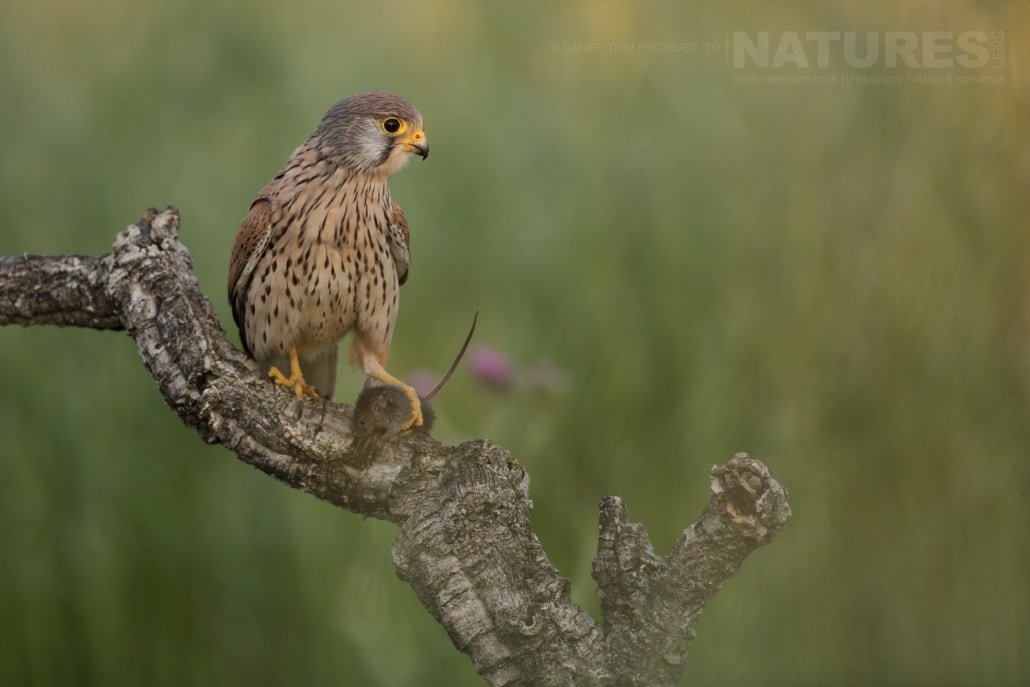 A wild kestrel perches with prey amongst the spanish wildflowers - photographed on the NaturesLens Birds of Calera Photography Holiday in Spain