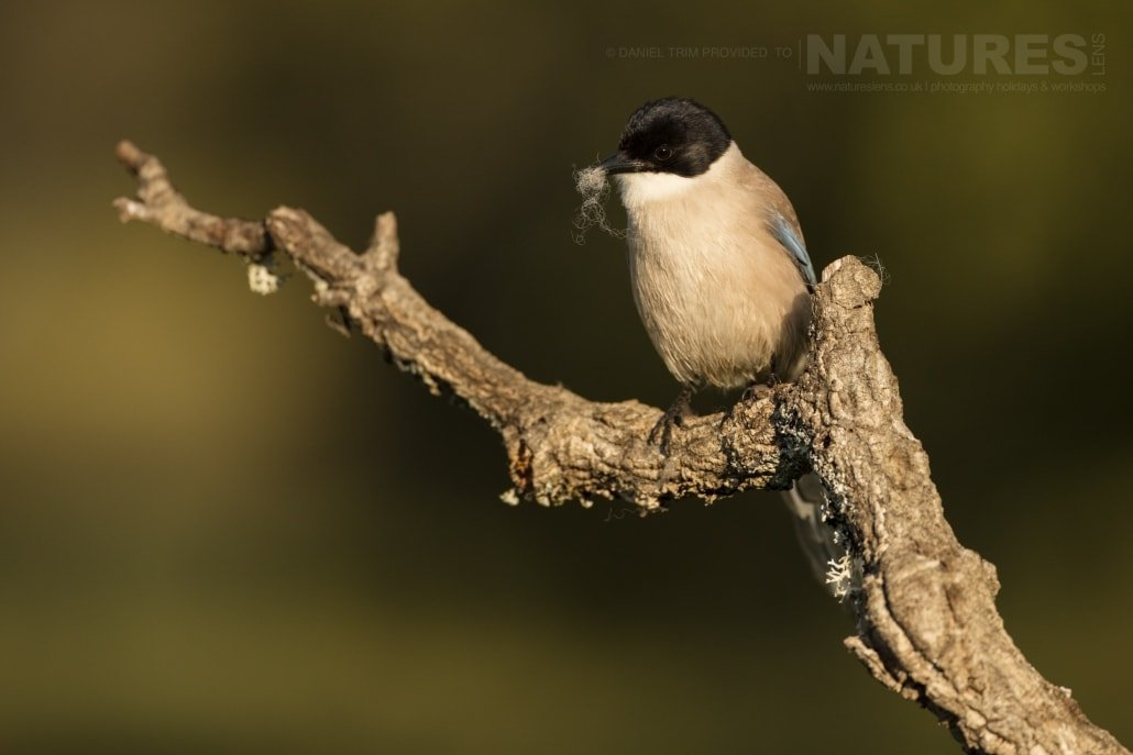 An Azure-Winged Magpie found on the Spanish Plains - photographed on the NaturesLens Birds of Calera Photography Holiday in Spain