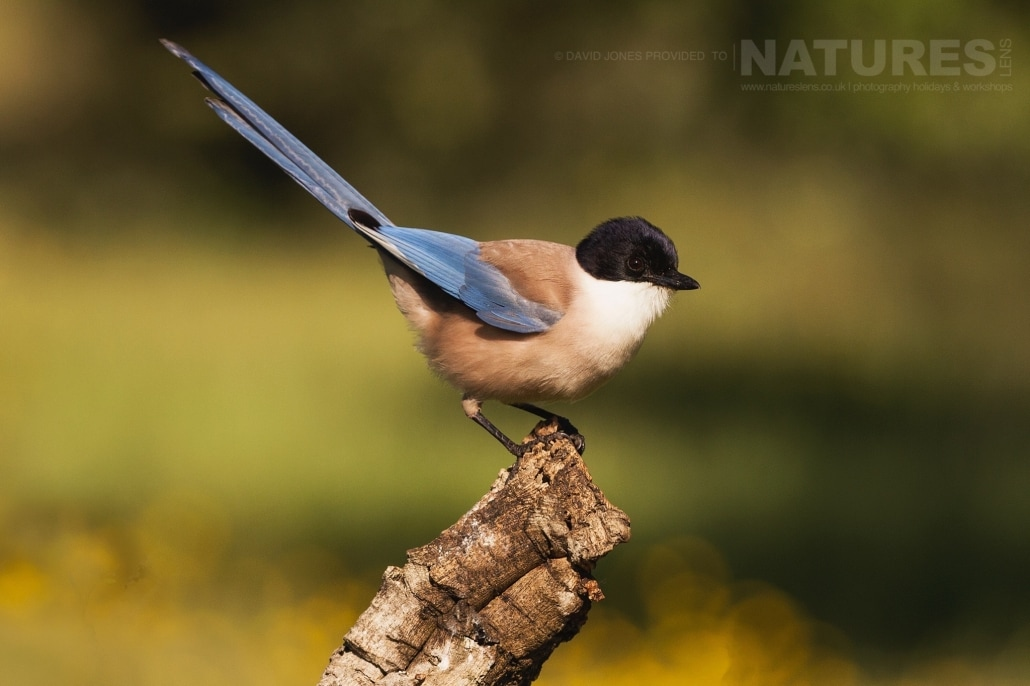 An Azure-winged Magpie of the Spanish Plains - photographed on the NaturesLens Birds of Calera Photography Holiday