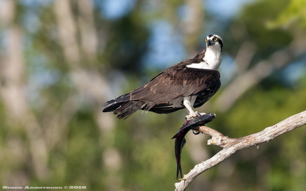 An Osprey perches with a freshly caught fish - photographed on the NaturesLens Ospreys of Blue Cypress Lake Photography Holiday