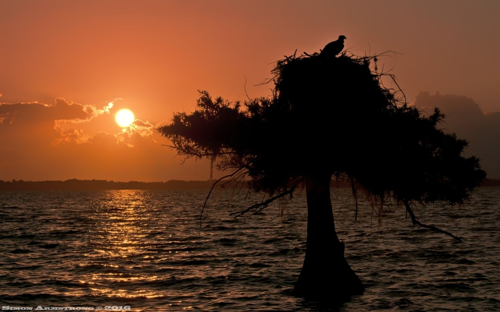 An osprey sits atop it's nest - photographed as the sun rose on the NaturesLens Ospreys of Blue Cypress Lake Photography Holiday