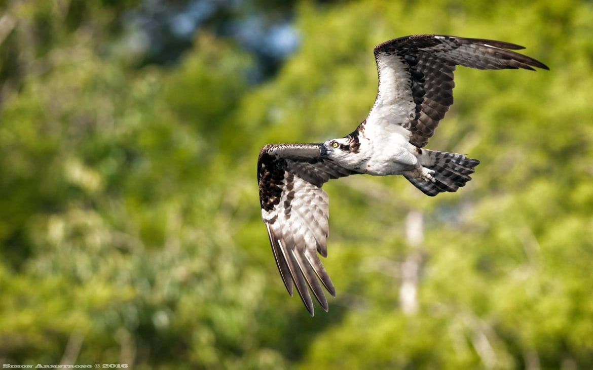 Heading out to make another catch one of the many ospreys that flew above the boat evey morning photographed on the NaturesLens Ospreys of Blue Cypress Lake Photography Holiday