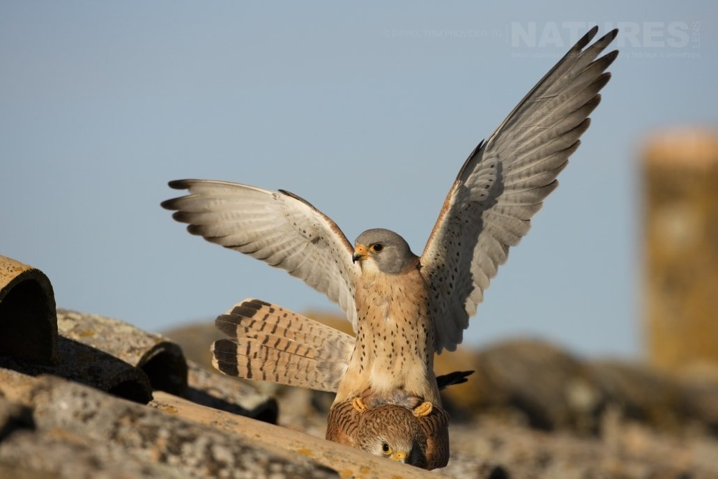 Mating Lesser Kestrels - photographed on the NaturesLens Birds of Calera Photography Holiday