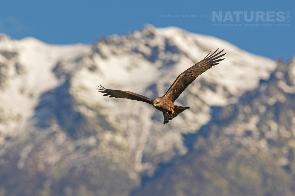 One of Spain's Black Kites captured in flight against a snowy mountain range - photographed on the NaturesLens Birds of Calera Photography Holiday