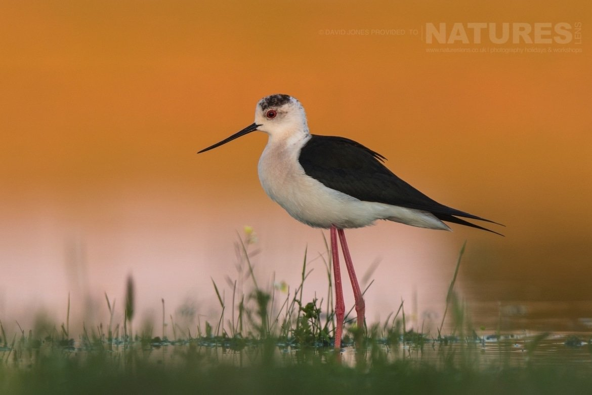 One of the Black winged Stilts that frequented the lake hide photographed on the NaturesLens Birds of Calera Photography Holiday