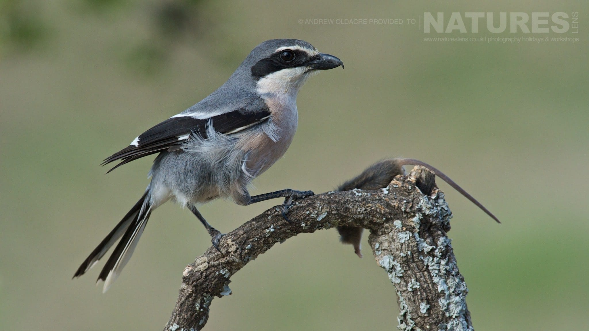 One of the Southern Grey Shrikes found on the Spanish plains - photographed on the NaturesLens Birds of Calera Photography Holiday