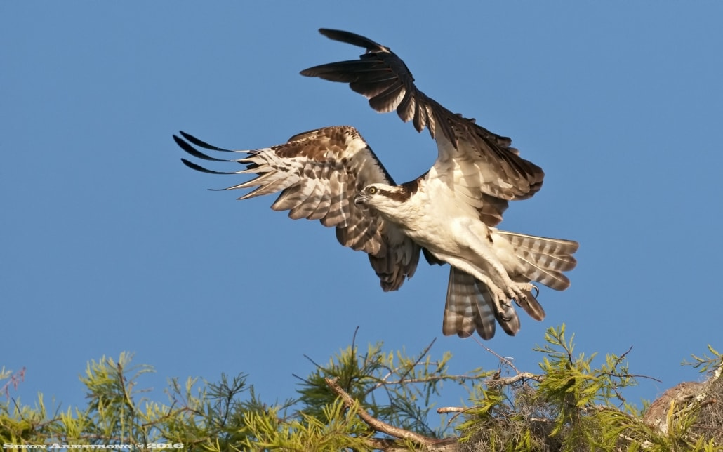 Osprey take off - photographed on the NaturesLens Ospreys of Blue Cypress Lake Photography Holiday