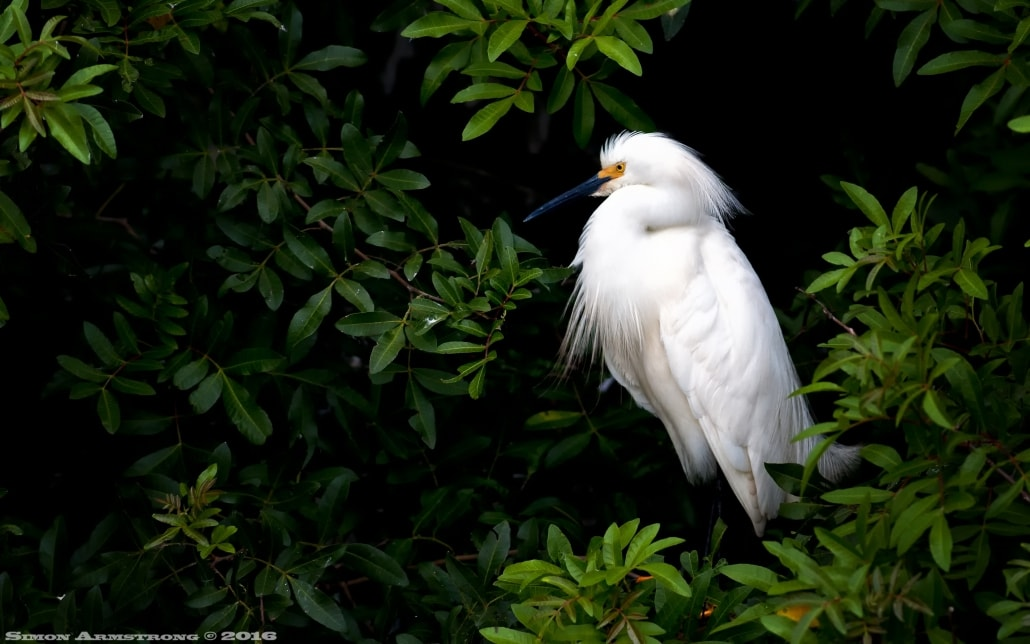 Rookery photography presents opportunities for egret & rosebill photography - photographed on the NaturesLens Ospreys of Blue Cypress Lake Photography Holiday