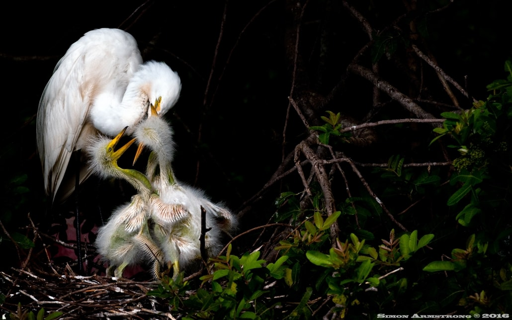 Rookery photography presents opportunities for egret with young photography - photographed on the NaturesLens Ospreys of Blue Cypress Lake Photography Holiday