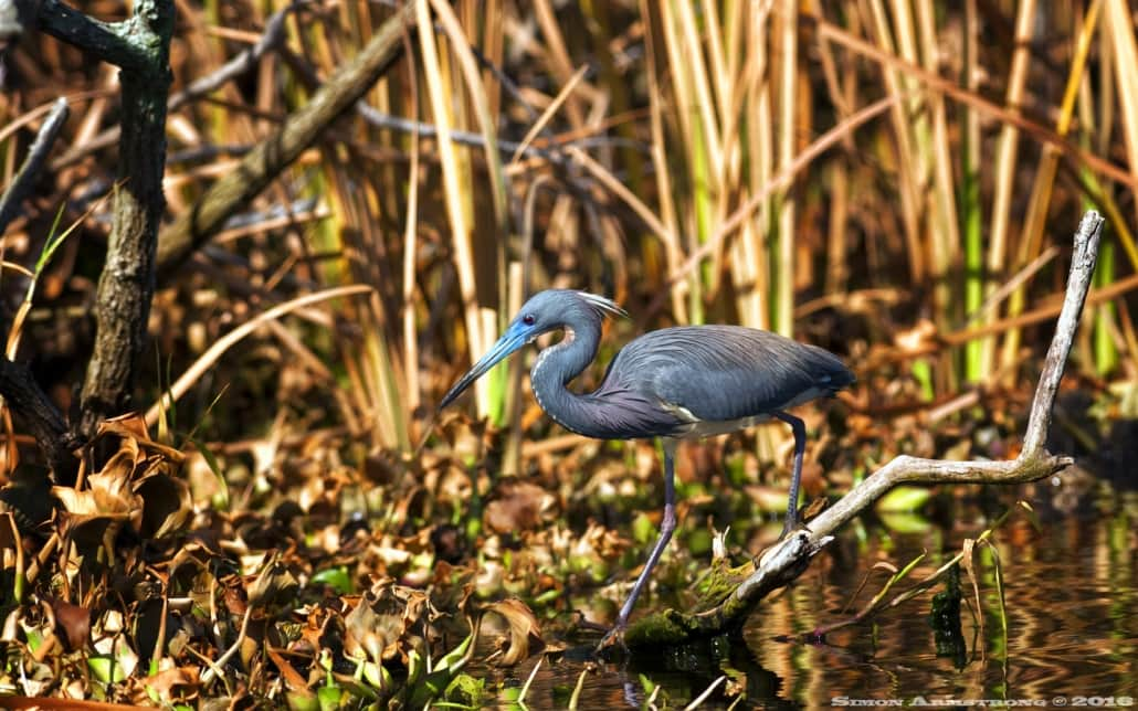 Rookery photography presents opportunities for tri-colored heron photography - photographed on the NaturesLens Ospreys of Blue Cypress Lake Photography Holiday