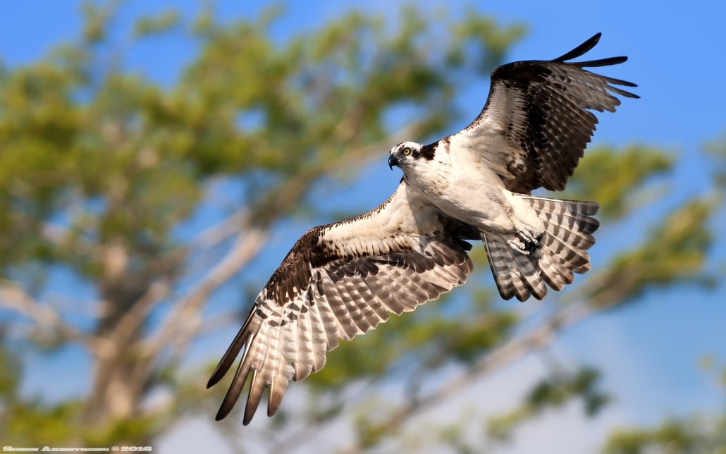 Soaring just above the boat, the magnificent osprey - photographed on the NaturesLens Ospreys of Blue Cypress Lake Photography Holiday