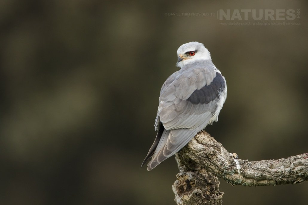 The rare & elusive Black Winged Kite - photographed on the NaturesLens Birds of Calera Photography Holiday in Spain