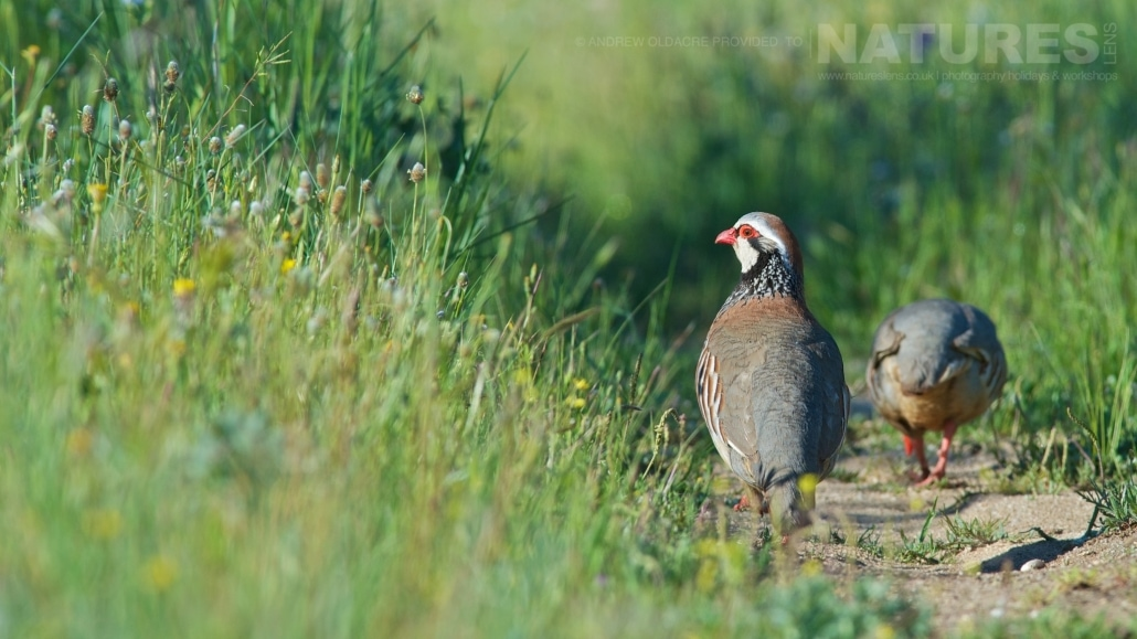Red-legged partridge found in the fields around Calera on the Spanish plains - photographed on the NaturesLens Birds of Calera Photography Holiday