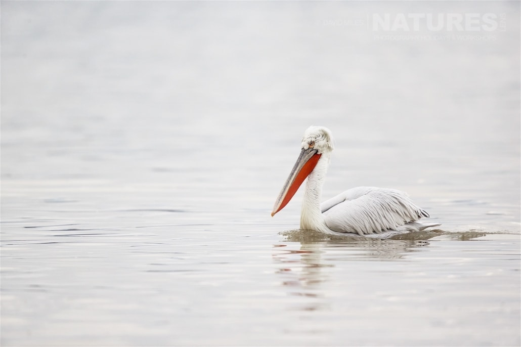 A Dalamatian Pelicans drifts serenely on the surface of the lake - photographed on the NaturesLens Dalmatian Pelicans of Lake Kerkini wildlife photography holiday
