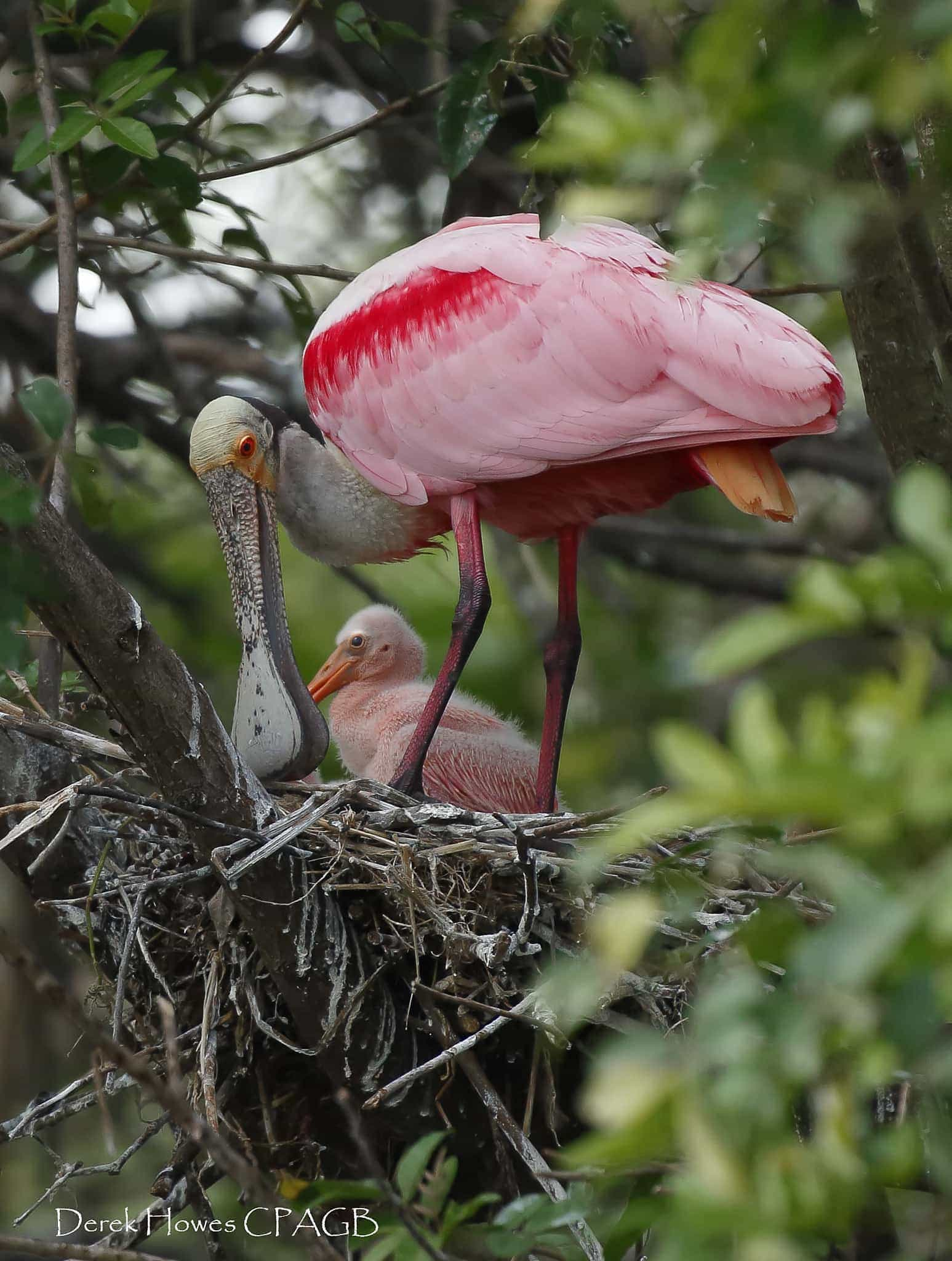 A roseate spoonbill mother tends to the nest & her chicks within - photographed on the NaturesLens Osprey Photography Holiday conducted in Florida during April 2016