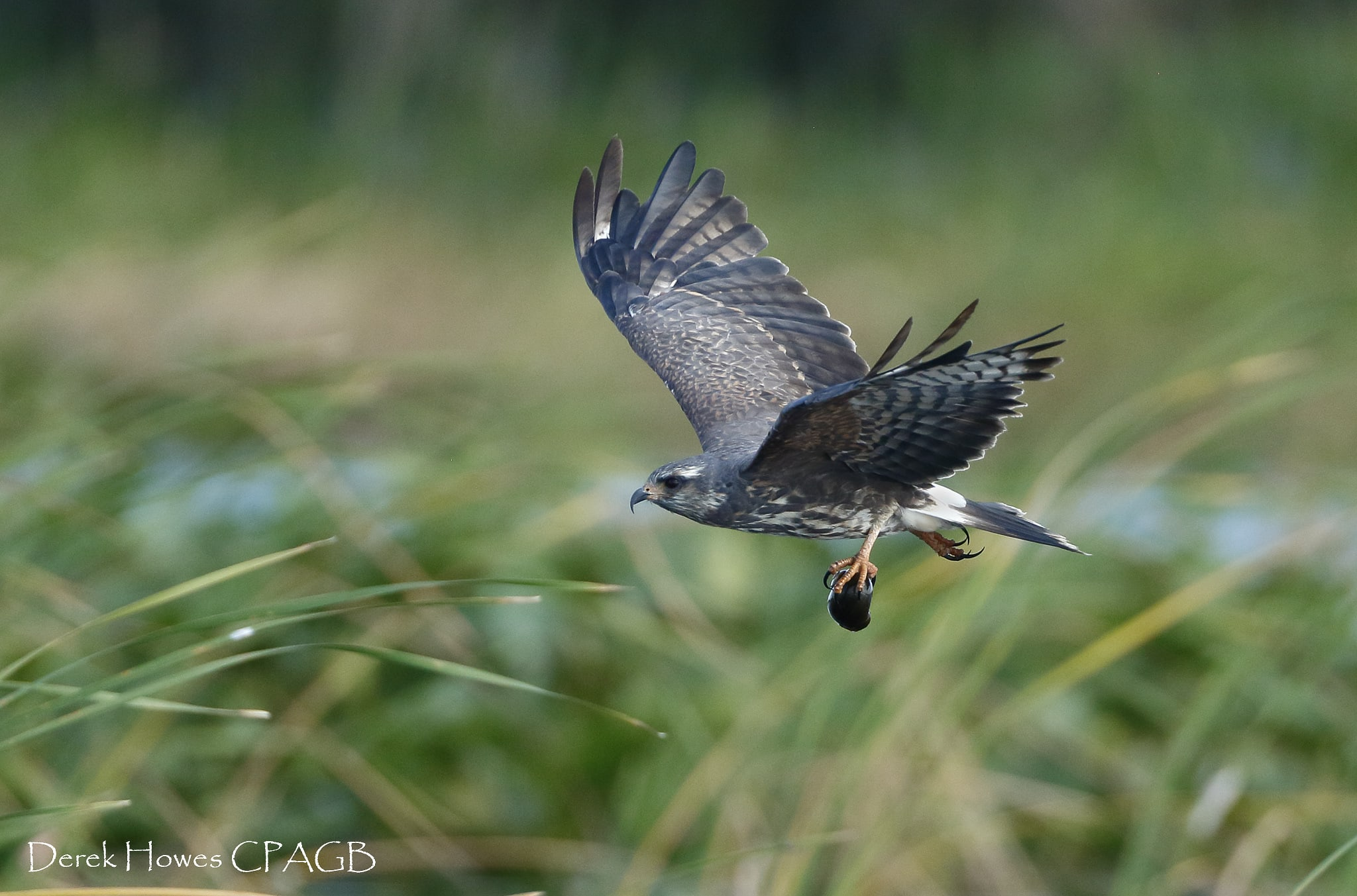 A snail kite image captured on one of the Floridian lakes, here seen clutching a freshly caught snail - photographed on the NaturesLens Osprey Photography Holiday conducted in Florida during April 2016
