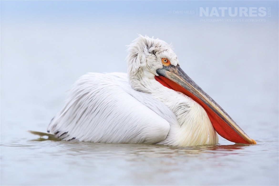 Almost prehistoric in appearance the dalmatian pelicans of Greece are extremely photoegenic photographed on the NaturesLens Dalmatian Pelicans of Lake Kerkini wildlife photography holiday