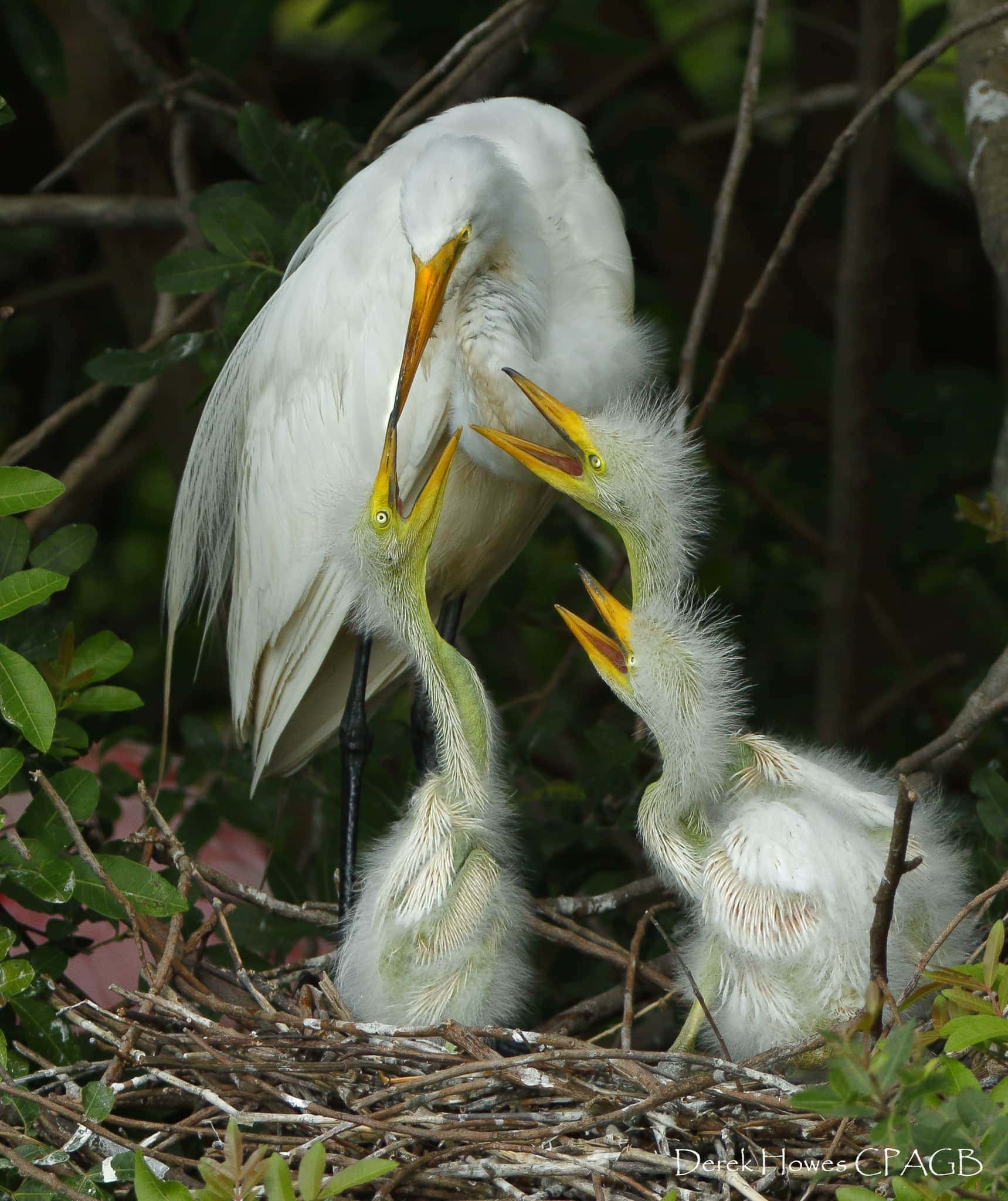 An egret feeds her young in the nest, the rookeries that we visited were lined with hundreds of nests - photographed on the NaturesLens Osprey Photography Holiday conducted in Florida during April 2016