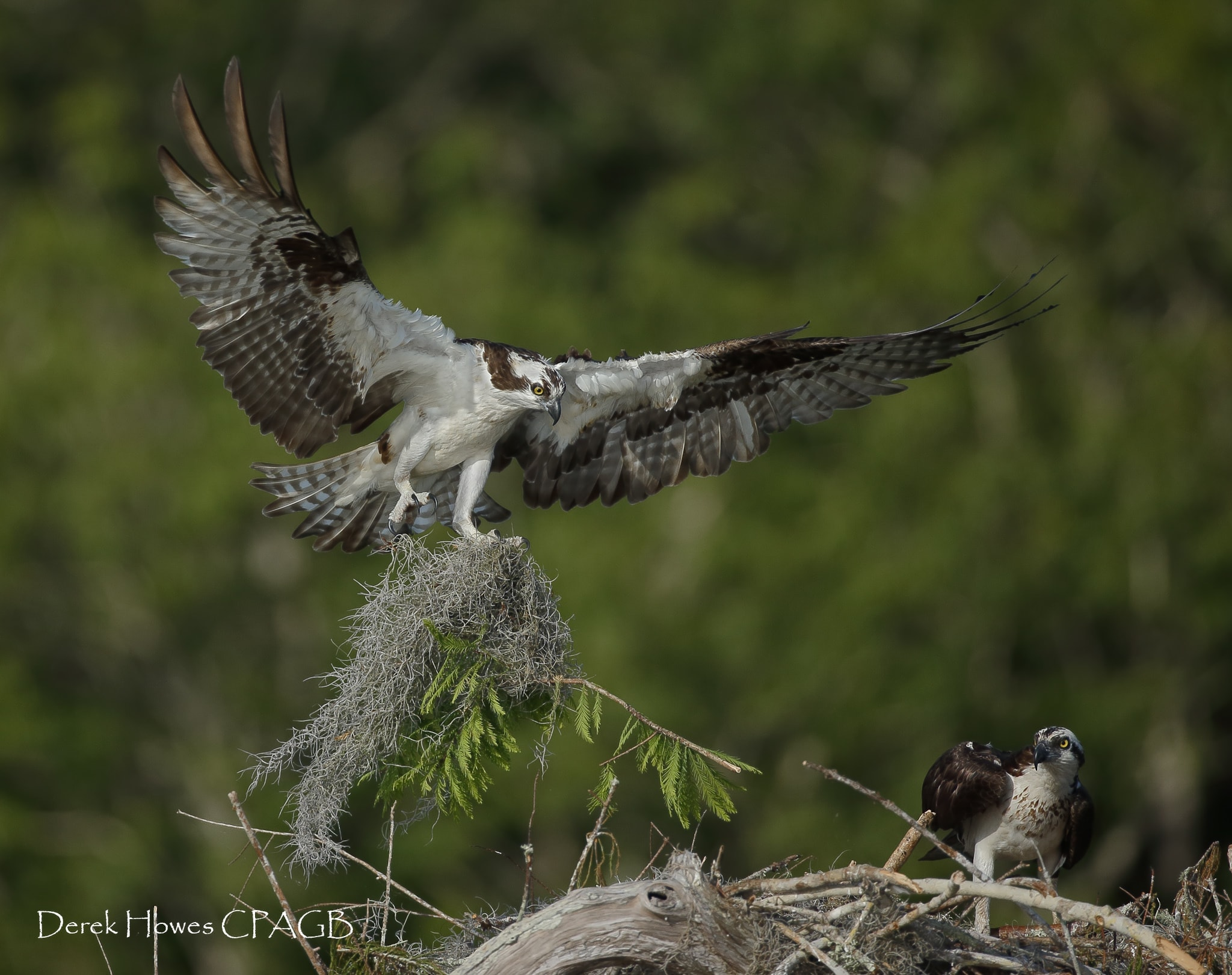 An osprey returns to the nest having gathered fresh material to line the nest - photographed on the NaturesLens Osprey Photography Holiday conducted in Florida during April 2016