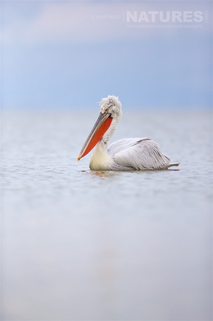 One of Greece's Dalamatian Pelicans drifts serenely on the surface of the lake - photographed on the NaturesLens Dalmatian Pelicans of Lake Kerkini wildlife photography holiday
