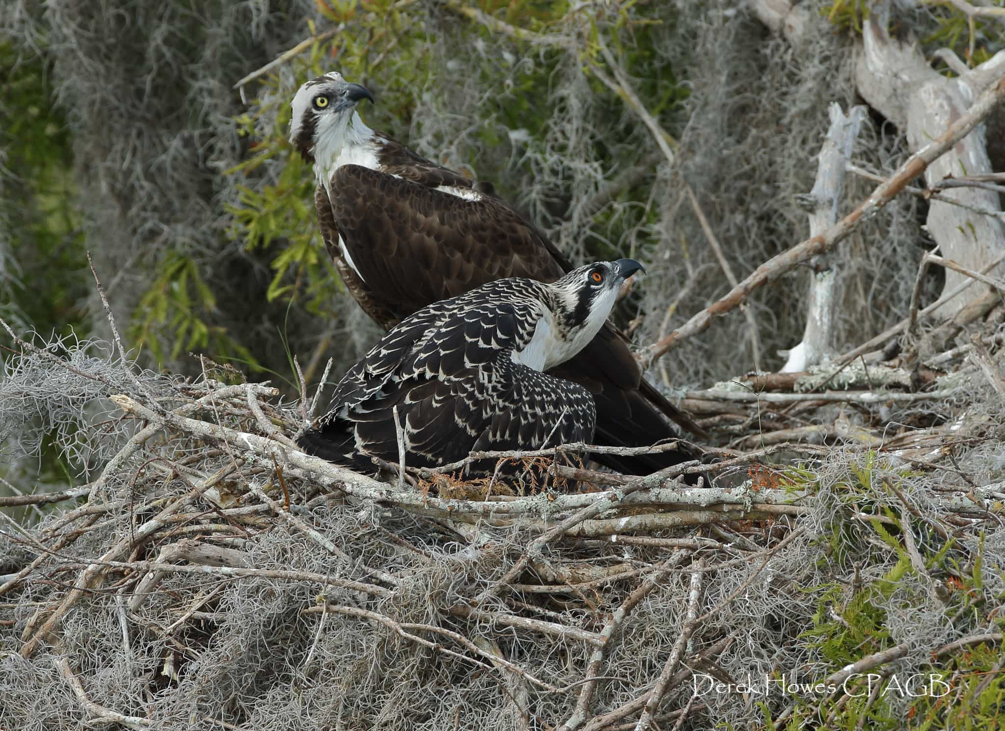 One of the parent Ospreys guards the nest & the precious offspring within - photographed on the NaturesLens Osprey Photography Holiday conducted in Florida during April 2016